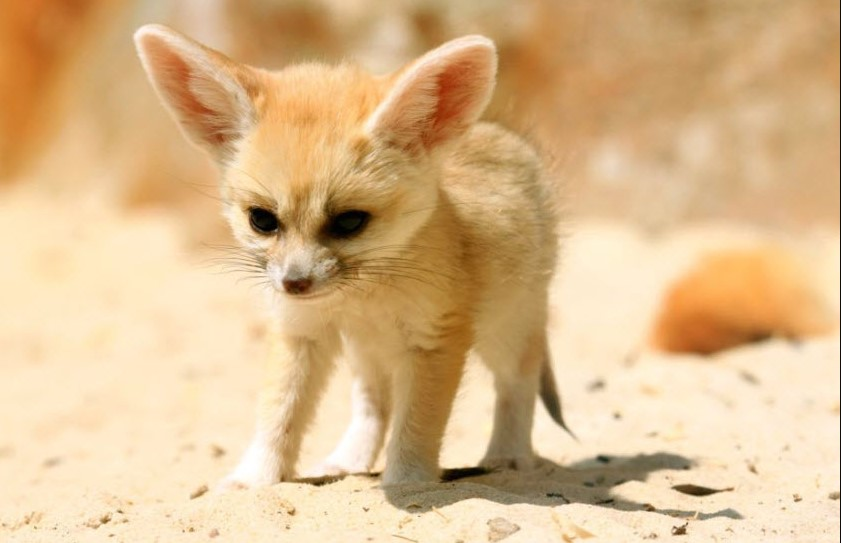 fox with big ears fennec fox habitat baby fennec fox fennec fox facts fennec fox price fennec fox pet for sale fennec fox pup