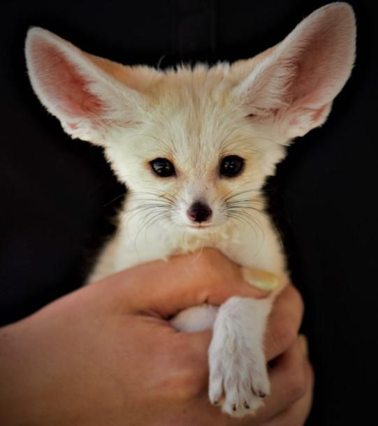 fennec fox pet