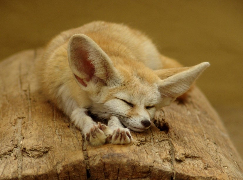 fox with big ears fennec fox habitat baby fennec fox fennec fox facts fennec fox price fennec fox pet for sale fennec fox pet cost fennec fox desert fennec fox diet fox with big ears fennec fox habitat baby fennec fox fennec fox facts fennec fox price fennec fox pet for sale fennec fox pup