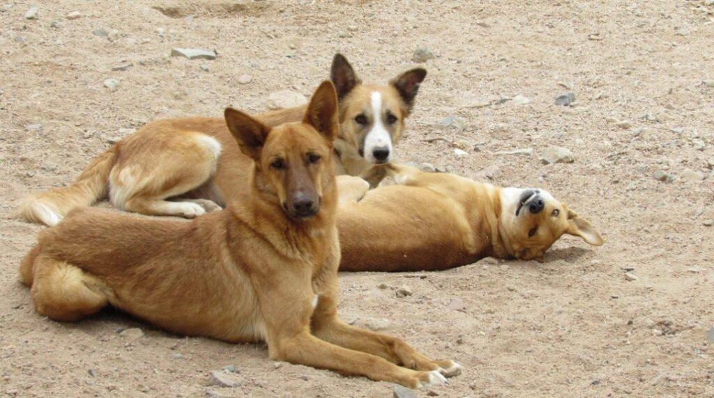 Egyptian Street Dog anubis hound egyptian greyhound tesem dog egyptian pharaoh dog anubis pharaoh hounds egyptian hairless dog egyptian hound egyptian pharaoh hound anubis dog egyptian dog breeds egyptian dog
