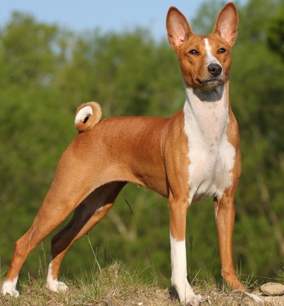 Basenji  breed egyption dogs