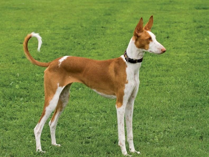 Ibizan Hound  for sell anubis hound egyptian greyhound tesem dog egyptian pharaoh dog anubis pharaoh hounds egyptian hairless dog egyptian hound egyptian pharaoh hound anubis dog egyptian dog breeds egyptian dog