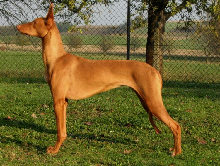 Pharaoh Hound for sell egyptian hairless dog