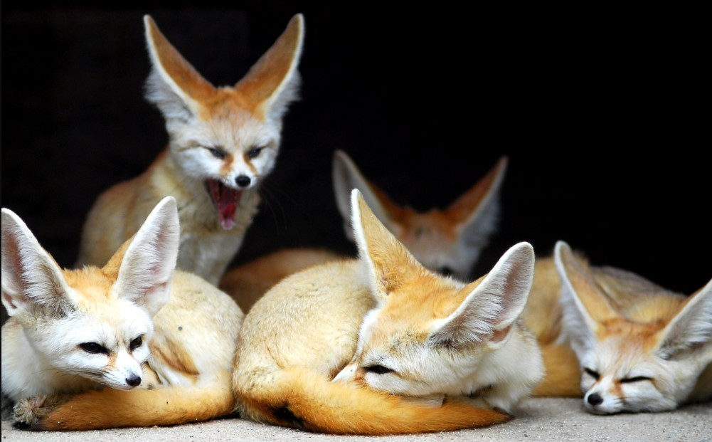 fennec fox breeds smallest fox fennec fox for sale near me buy fennec fox fennec fox big ears fennec fox ears cute fennec fox
