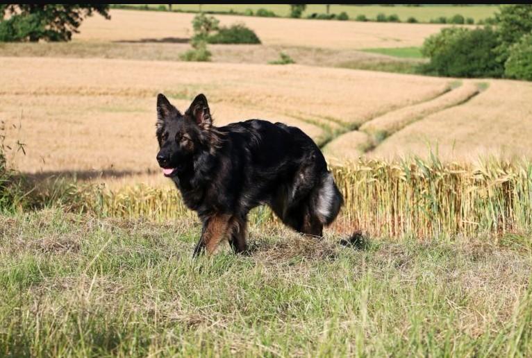 german shepherd dog long haired german shepherd old old german shepherd dog old german shepard old german shepherd breed