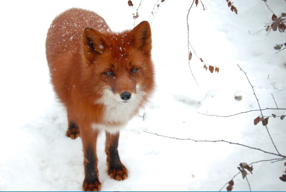 Red Fox as pet
