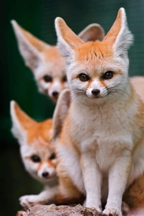 fennec fox pet cost fennec fox desert fennec fox diet fox with big ears fennec fox habitat baby fennec fox fennec fox facts fennec fox price fennec fox pet for sale fennec fox pup