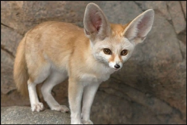 smallest fox fennec fox for sale near me buy fennec fox fennec fox big ears fennec fox ears cute fennec fox desert fox