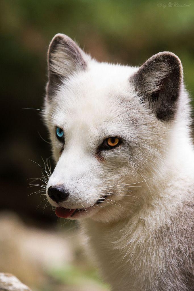 fox as a pet 2