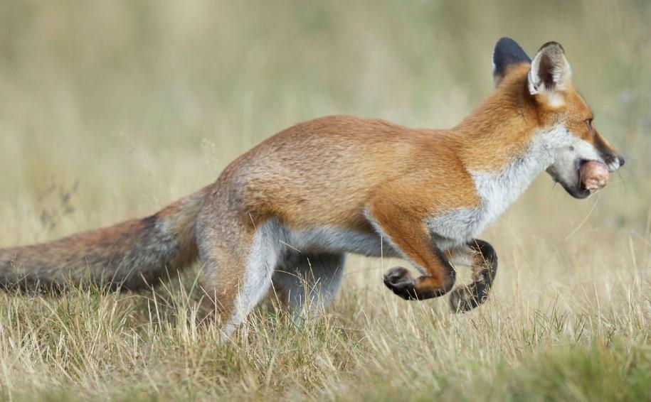 fox as a pet domesticating foxes fennec fox sale fennec fox as pet domestic fox for sale canadian marble foxes canadian marble fox for sale domesticated red fox domesticated russian fox fox tamed