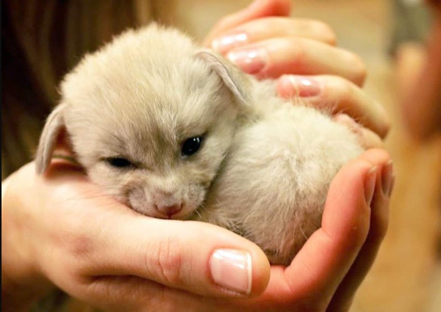 fox puppy