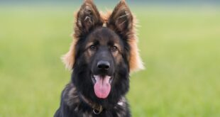 german shepherd dog years to human years