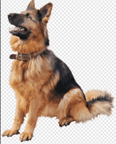old style german shepherd german shepherd dog german shepherd old old german shepherd dog old german shepard old german shepherd breed