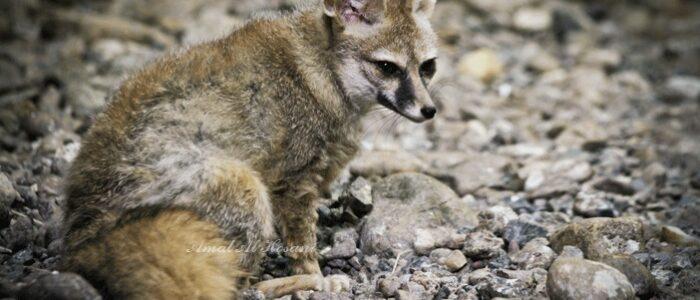 blandford fox