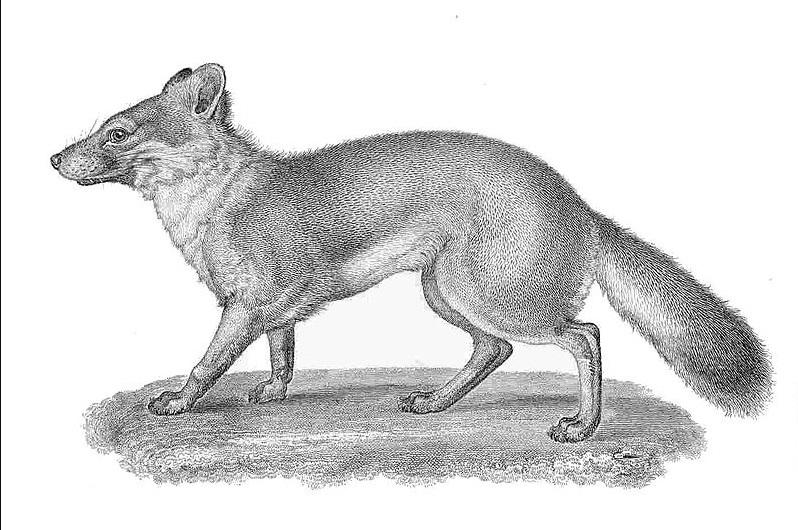 extinct foxes species