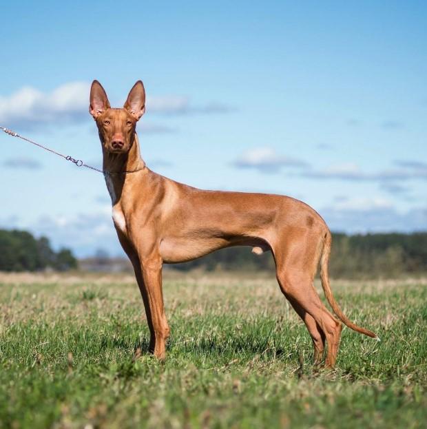 egyptian hairless dog.Egyptian dog breeds egypt dog. egypt dog breed . anubis hound egyptian greyhound tesem dog egyptian pharaoh dog anubis pharaoh hounds egyptian hairless dog egyptian hound egyptian pharaoh hound anubis dog egyptian dog breeds egyptian dog