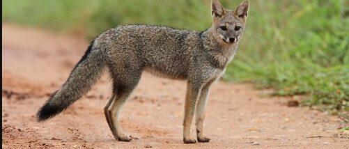 Hoary-Fox