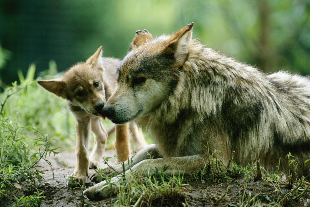 Mexican Wolf mother