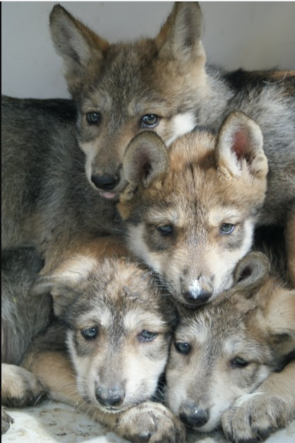 Mexican Wolf puppies
