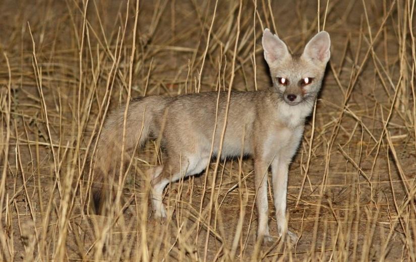Pale-Fox