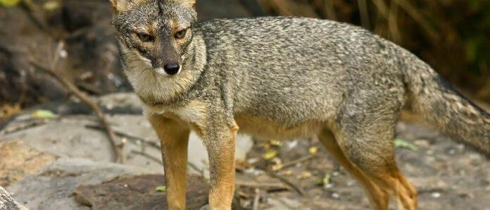 Sechuran-Fox
