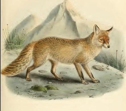 exticnt species of foxes