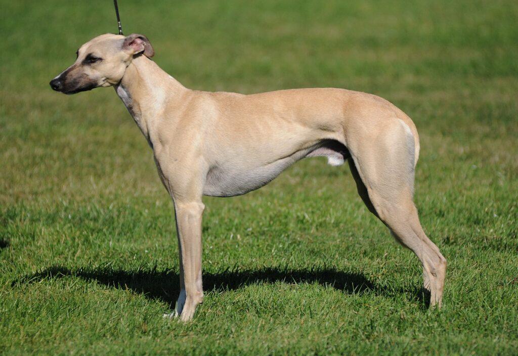 fastest dogs fastest dog breed Top 20 Fastest Dog Breeds dog speed fastest dog in the world fastest dog breeds fastest dog speed