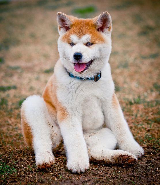 akita dog akita inu akita inu puppy akita inu price american akita dog japanese akita inu akita breeders akita shiba inu akita inu shiba inu akita inu dog japanese akita pups