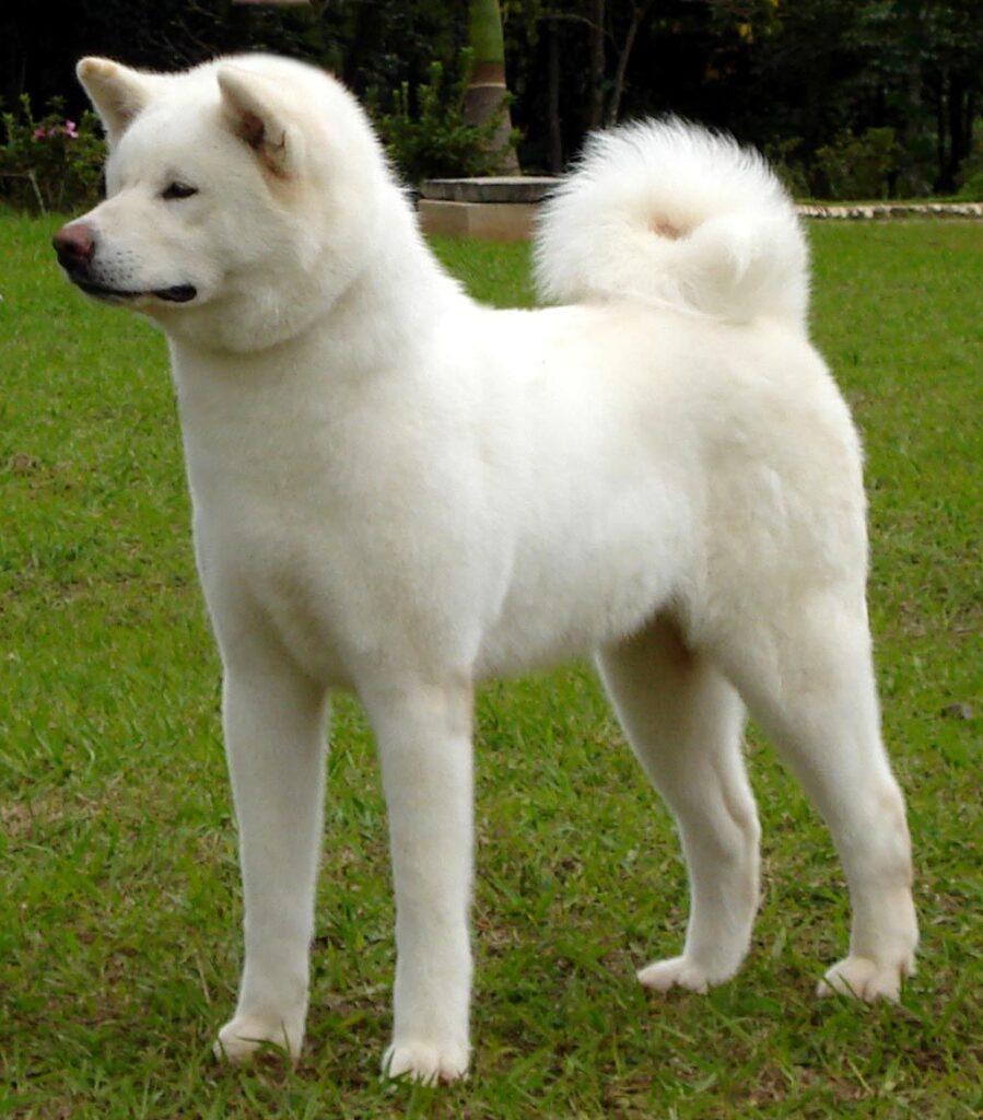 akita inu white