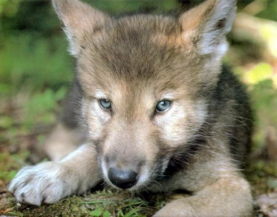 baby mexican wolf
