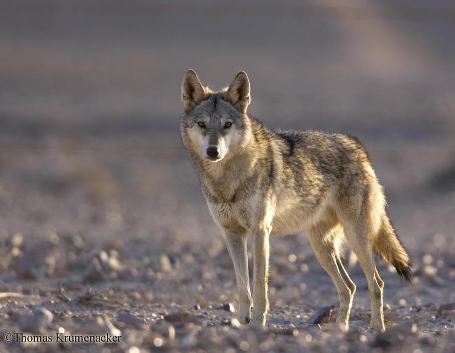 egyptian wolf