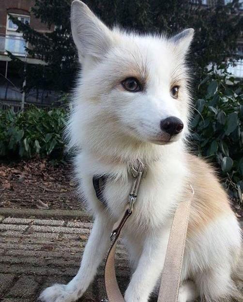 fox breed cat