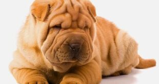 sharpei bearcoat