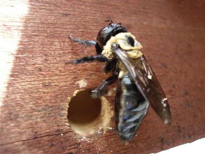 wood carpenter bees
