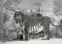 Caspian tiger extinct