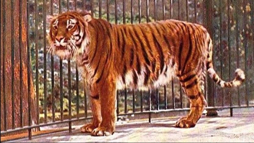 Caspian tiger facts