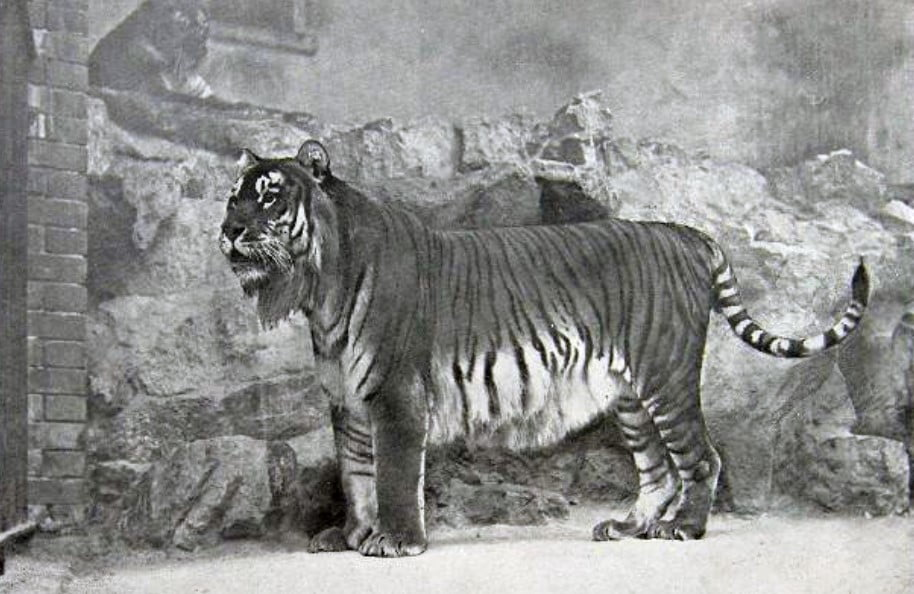 Caspian tiger extinct