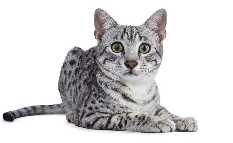 Egyptian cat egyptian mau egyptian cat god cat goddess egyptian mau cat egyptian mau price mau cat pharaoh cat egyptians and cats egyptian cat statue cats in ancient egypt egyptian mau for sale egyptian hairless cat egyptian sphynx cat