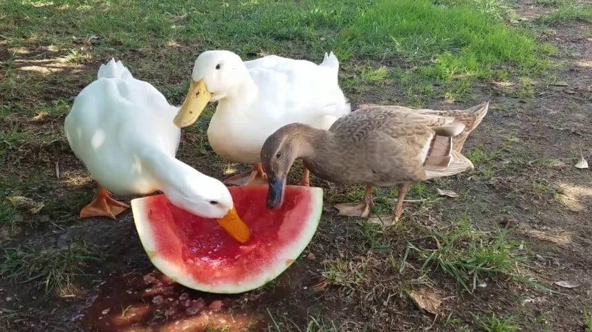 baby duck pet