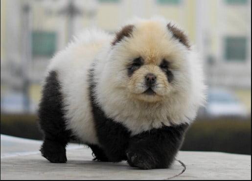 chow chow panda dog