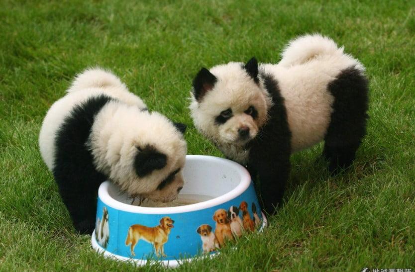 panda chow chow puppies