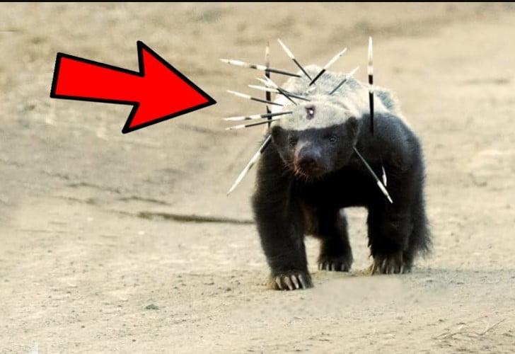 honey badger animal