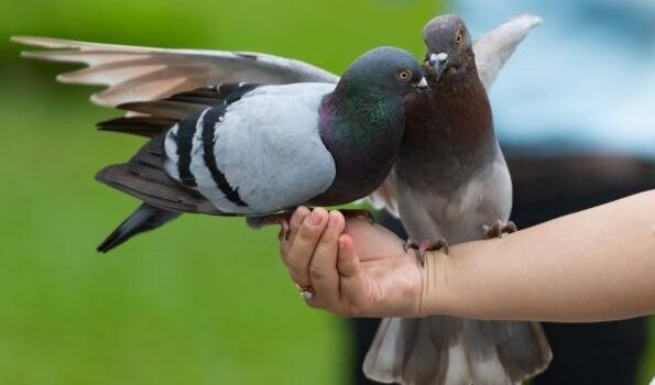pigeon as a pet