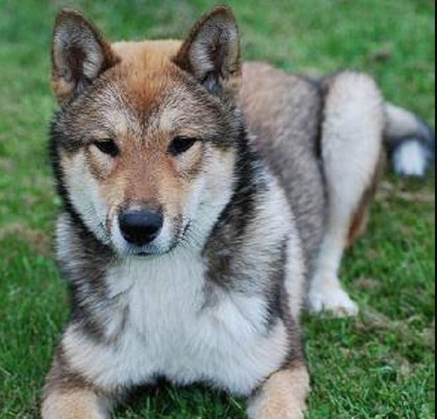 shikoku inu dog