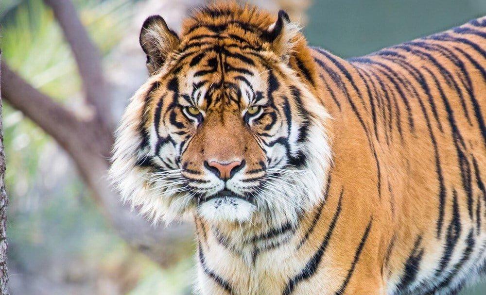 Extinct Tigers Species