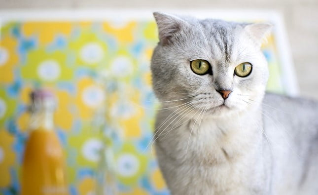 expencive cats; most expencive cat; most expensive cats; expensive cat; most expensive cat breeds; most expensive cat in the world; expensive cat breed