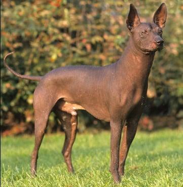 black pharaoh hound