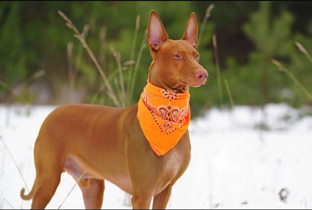 Egyptian pharaoh hound