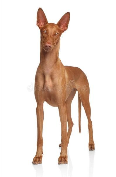 egyptian pharaoh dog