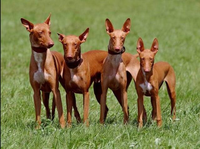 pharaoh hound puppies